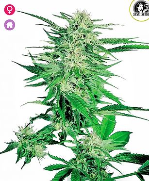 Big Bud Feminised Seeds from Sensi Seeds