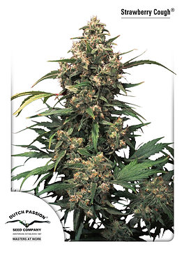 Strawberry Cough Feminised Seeds from Dutch Passion