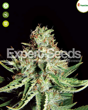 Sweet Cream Auto Feminised Seeds from Expert Seeds