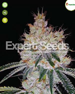 OGesus Auto Feminised Seeds from Expert Seeds
