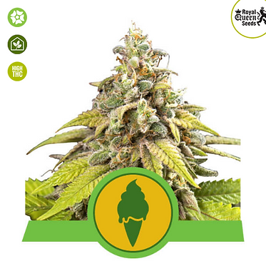 Green Gelato Auto Feminised Seeds from Royal Queen Seeds