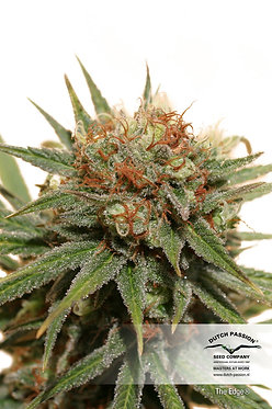 The Edge - 10 Feminised Seeds from Dutch Passion