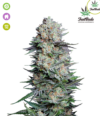 Mexican Airlines Auto Feminised Seeds from FastBuds Seeds