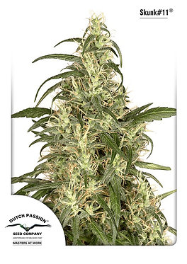Skunk #11 Feminised Seeds from Dutch Passion
