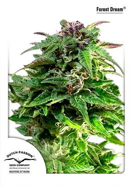 Forest Dream Feminised Seeds from Dutch Passion