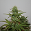 Thumbnail: Blueberry Auto Feminised Seeds from Seedsman