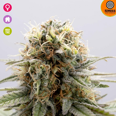 GSC Feminised Seeds from Kannabia