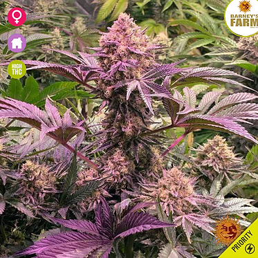 Dos Si Dos 33 Feminised Seeds Feminised Seeds from Barney's Farm Seeds
