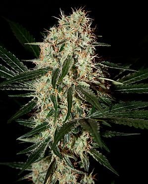 Arjan's Haze #3 Feminised Seeds from Greenhouse Seed Co.