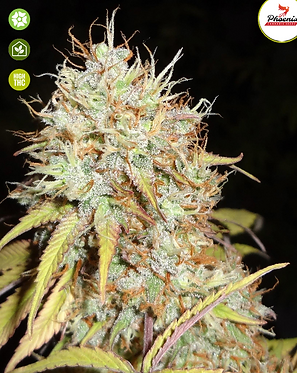 Amnesia Express Auto Feminised Seeds from Phoenix Seeds