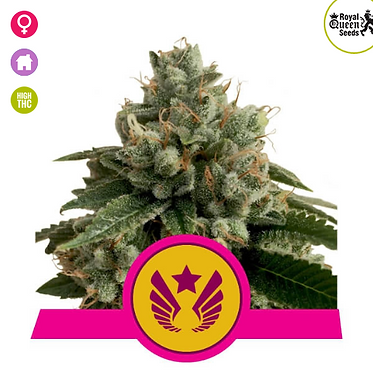 Legendary Punch Feminised Seeds from Royal Qeen Seeds