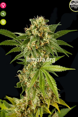 Kush - N - Cheese Feminised Seeds from Dinafem Seeds
