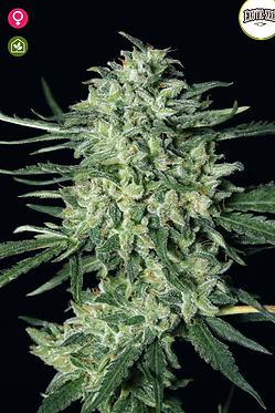 Quick Mass Feminised Seeds from Exotic Seeds