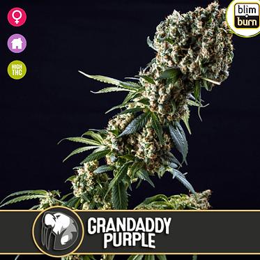 Grandaddy Purple Feminised Seeds from BlimBurn Seeds