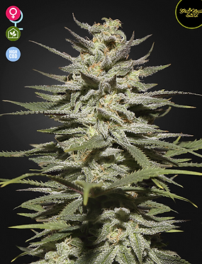 Super Lemon Haze CBD Feminised seeds from Greenhouse Seed Co.