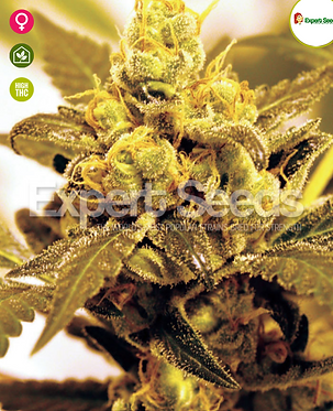 Fruit Salad Feminised Seeds from Expert Seeds