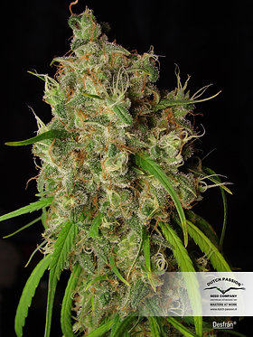 Desfran Feminised Seeds from Dutch Passion
