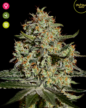 Big Bang Feminised Seeds from Greenhouse Seed Co.