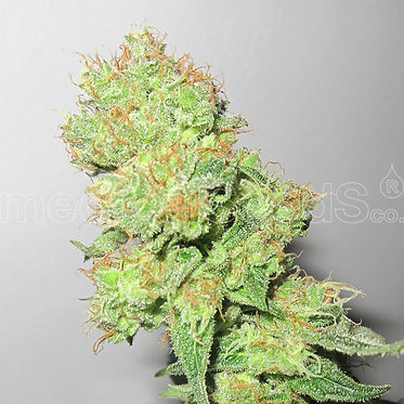 Y Griega CBD Feminised Seeds from Medical Seeds