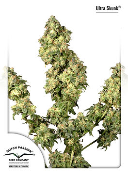 Ultra Skunk Feminised Seeds from Dutch Passion