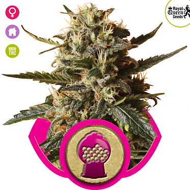 Bubblegum XL Feminised Seeds from Royal Queen Seeds