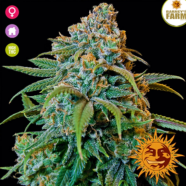 Liberty Haze Feminised Seeds from Barney's Farm Seeds