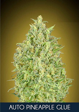 Pineapple Glue Auto Feminised Seeds from Advanced Seeds