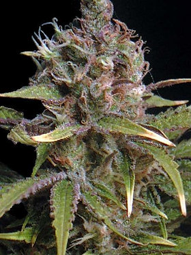 Power Africa Feminised Seeds from Seedsman