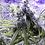 Thumbnail: Tangerine Dream Feminised Seeds from Barney's Farm Seeds