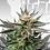 Thumbnail: Sativa Dream (LOL) Feminised Seeds from Kannabia