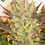 Thumbnail: Motavation Feminised Seeds - 6 from Serious Seeds