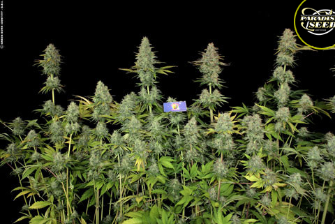 Jacky White Feminised Seeds from Paradise Seeds