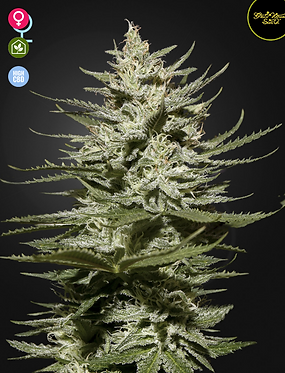 The Church CBD Feminised seeds from Greenhouse Seed Co.