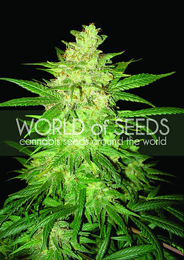 Sweet Coffee Ryder Auto - 12 Feminised Seeds
