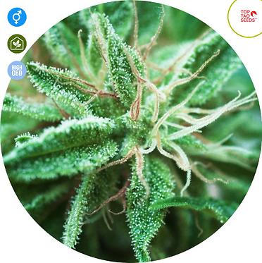 Sativa Samadhi Regular Seeds - 10 from Top Tao Seeds
