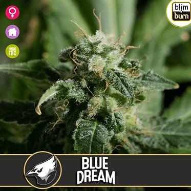 Blue Dream Feminised Seeds from BlimBurn Seeds
