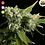 Thumbnail: Blue Dream Feminised Seeds from BlimBurn Seeds