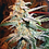 Thumbnail: Blue Mystic Feminised Seeds from Royal Queen Seeds