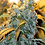 Thumbnail: Chronic Feminised Seeds - 6 from Serious Seeds
