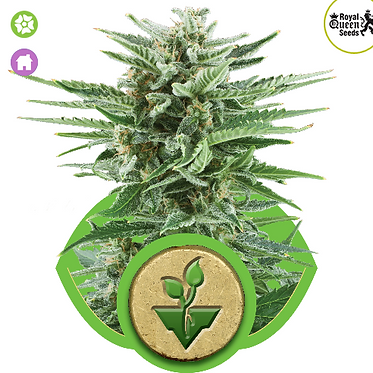 Easy Bud Auto Feminised Seeds from Royal Queen Seeds
