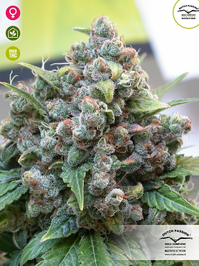 White Widow Feminised Seeds from Dutch Passion