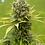 Thumbnail: Dinamed CBD Plus Feminised Seeds