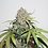 Thumbnail: Charlotte's Angel CBD Feminised Seeds from Dutch Passion