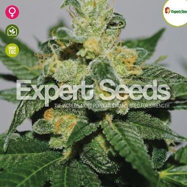 White Gold Feminised Seeds from Expert Seeds