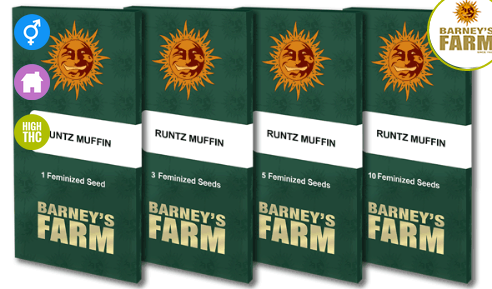 Runtz Muffin Feminised Seeds from Barney`s Farm