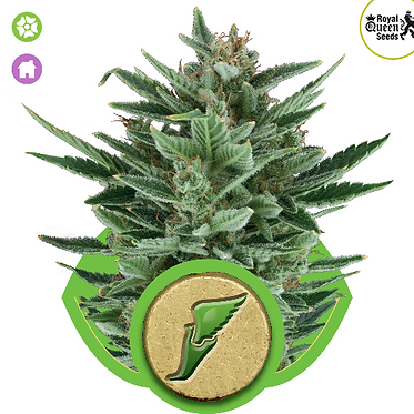 Quick One Auto Feminised Seeds from Royal Queen Seeds