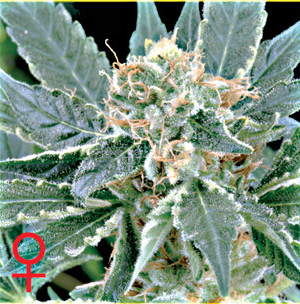 A.M.S. Feminised Seeds from Greenhouse Seed Co.
