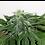 Thumbnail: Nemesis Feminised Seeds from Seedsman