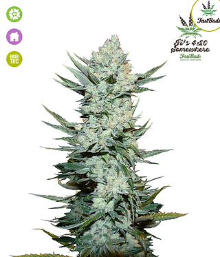 Tangie Auto Feminised Seeds from FastBuds Seeds