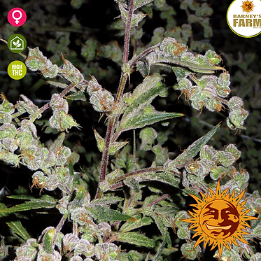 Dr Grinspoon Feminised Seeds from Barney's Farm Seeds